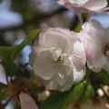 造幣局 桜の通り抜け 2019 (18)