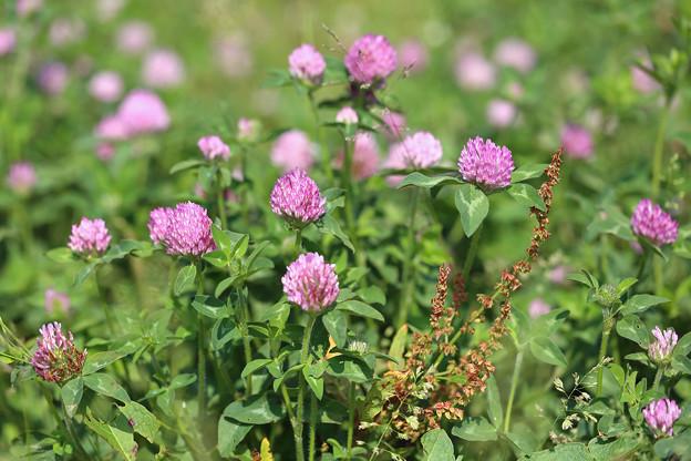 ムラサキツメクサ(紫詰草)