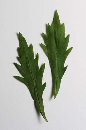 ユウガギクの葉