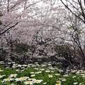 写真: 今年の町内の桜