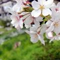 2018_桜2