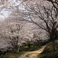 Photos: 桜の小路1