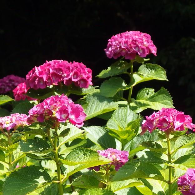 炎天下に紫陽花