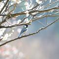 写真: 梅とシジュウカラ 1