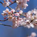 写真: 江戸彼岸桜