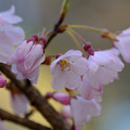 江戸彼岸桜 (2)