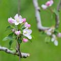 写真: リンゴの花 (2)