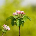写真: リンゴの花 (3)
