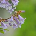 写真: 桐の花