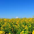 写真: 菜の花の先