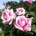 Photos: rose-j