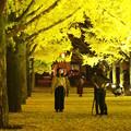 Photos: 県庁銀杏4