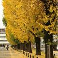 写真: 県庁銀杏10