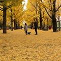 写真: 県庁銀杏12