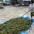 写真: レンボンガン島は、天草の産地で日本にも出荷しているそう