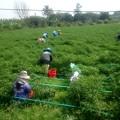 Photos: 唐辛子の収穫です