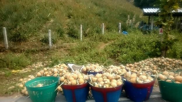 大きさで選別をします、白杭いの後ろがパイナップル畑