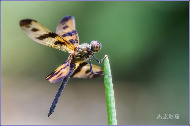 Photos: 彩裳蜻蜓