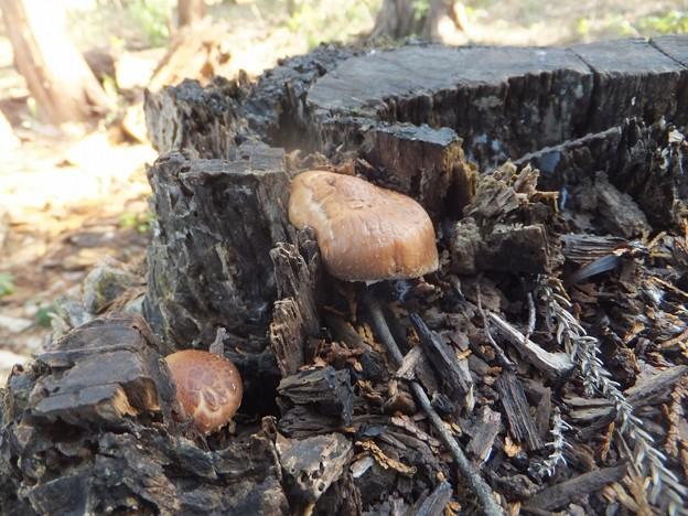 森のシイタケ
