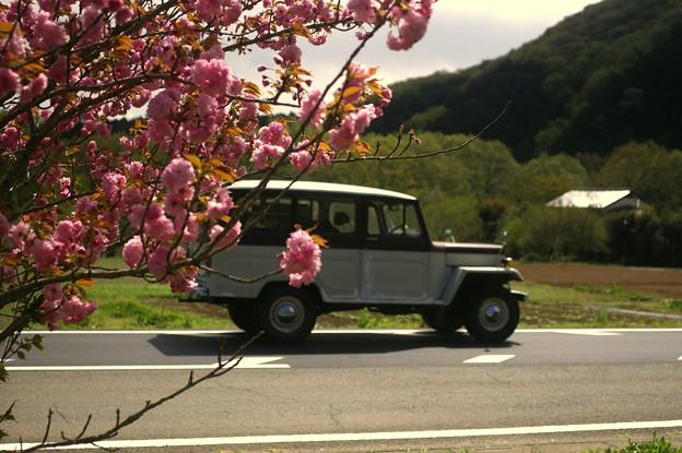 八重桜とJeep