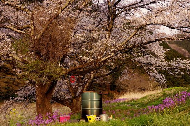 桜の下のドラム缶風呂2019