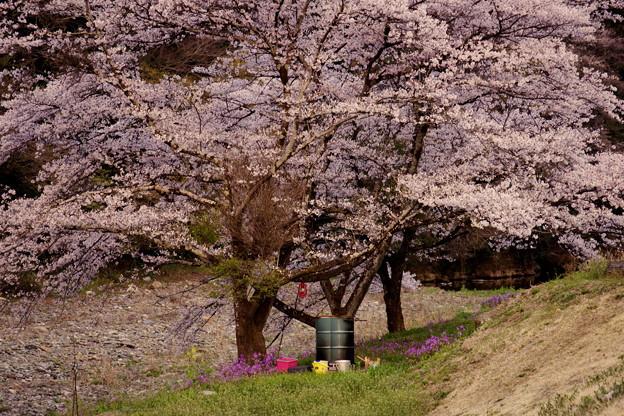 桜の下のドラム缶