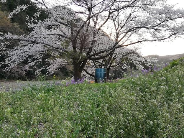 ナズナと桜