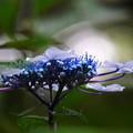 写真: 木陰の紫陽花