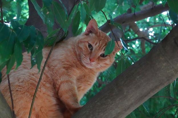 写真: 樹上のチャトラ