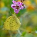 写真: 萩の花にキチョウ