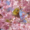 Photos: 桜メジ