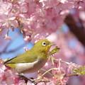 Photos: 桜メジロ