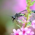 Photos: 虫の名前?サトジガバチでした。