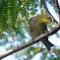 Photos: ネムの木にメジロ