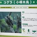 Photos: コゲラ(小啄木鳥)
