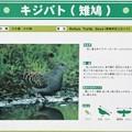 Photos: キジバト(雉鳩)