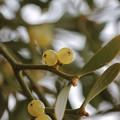 写真: 万葉集:ホヨ、ホヤ、ヤドリギ(寄生木) ビャクダン科