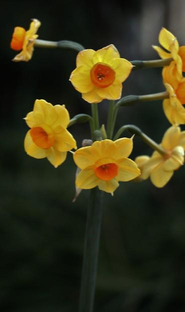 庭のキズイセン(黄水仙) ヒガンバナ科