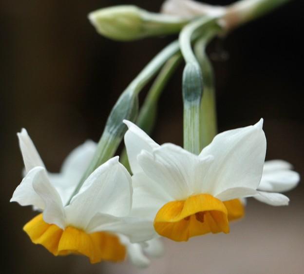 庭のスイセン(水仙) ヒガンバナ科