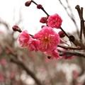 Photos: コウバイ(紅梅) バラ科