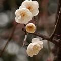 Photos: ハクバイ(白梅) バラ科