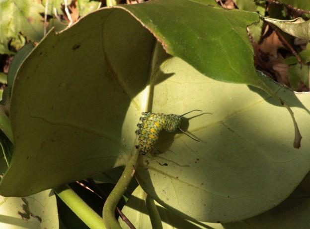冬のアサギマダラ(浅葱斑) チョウ目タテハチョウ科の幼虫