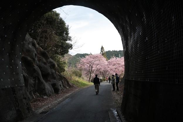 カワズザクラ(河津桜) バラ科