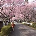 写真: カワズザクラ(河津桜) バラ科