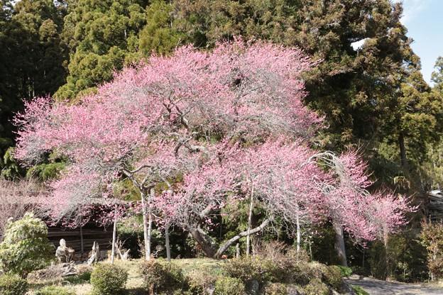 春なのに国会は「秋へ、昭恵」騒動・・?白か黒~ コクバイ(黒梅) バラ科