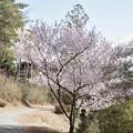 写真: キンキマメザクラ(近畿豆桜) バラ科