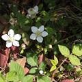 クサイチゴ(草苺) バラ科キイチゴ属