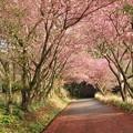 写真: カンザン (関山 )  バラ科 サトザクラ(里桜)