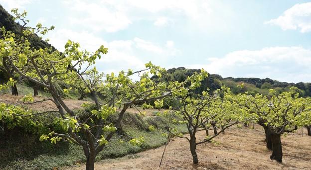 (大平、おいだいら)の次郎柿畑 カキノキ(柿の木) カキノキ科