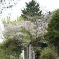 Photos: カスミザクラ(霞桜) バラ科